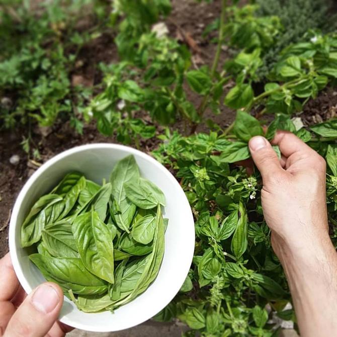 un-huerto-en-las-montanas_recolectando-hojas-de-albahaca_permacultura-agroecologia