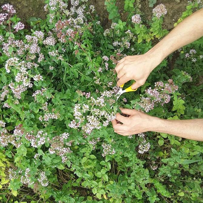 un-huerto-en-las-montanas_recolectando-oregano_permacultura-agroecologia