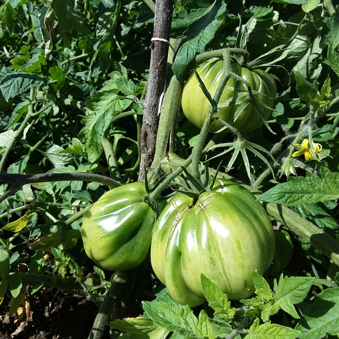 un-huerto-en-las-montanas_tomates-verdes-fritos_permacultura-agroecologia