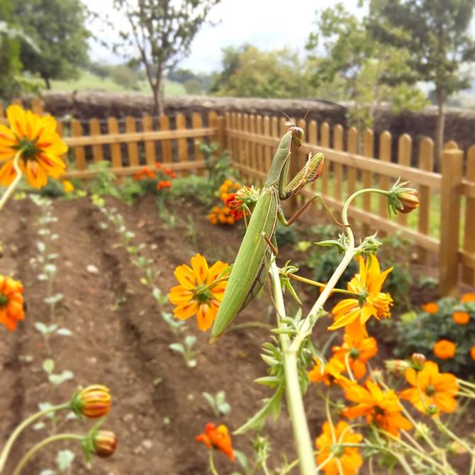 un-huerto-en-las-montanas_mantis-religiosa_permacultura-agroecologia