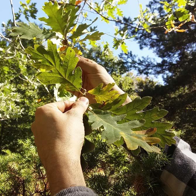 Investigación tintórea_Identificación botánica_Quercus_Curso de capacitación en Tintes Naturales_The Dyer's House