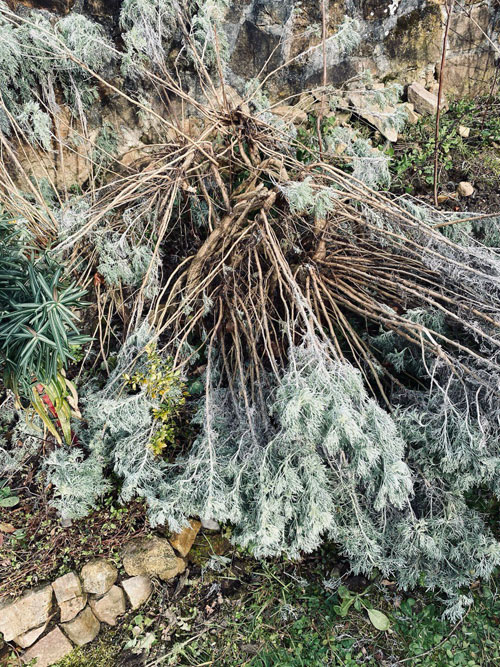 Jardin-tintoreo-de-The-Dyers-House_Artemisia-absinthium